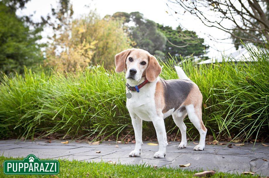 Hunde-Fotografen in Melbourne