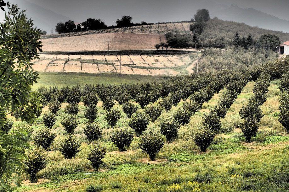 Alberi-di-nocciole-IGP-Cortemilia