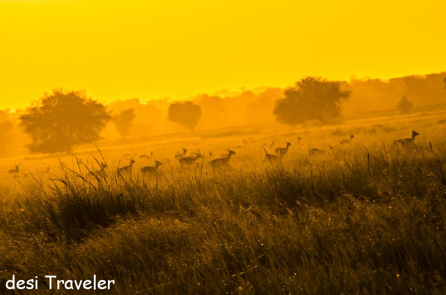 Black bucks in sunset