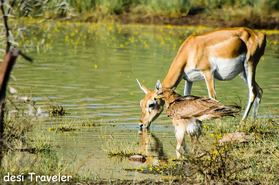 Eagel and deer at water hole