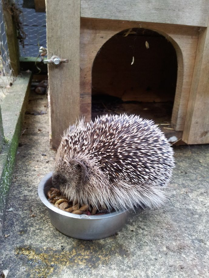 09_hedgehog