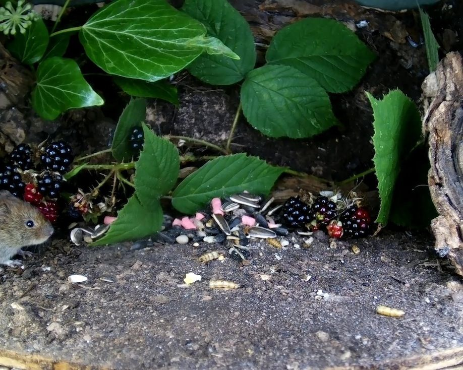 34_Blackberry vole1_00000