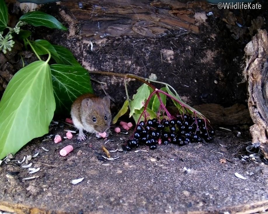 36_elder berry vole3_00002