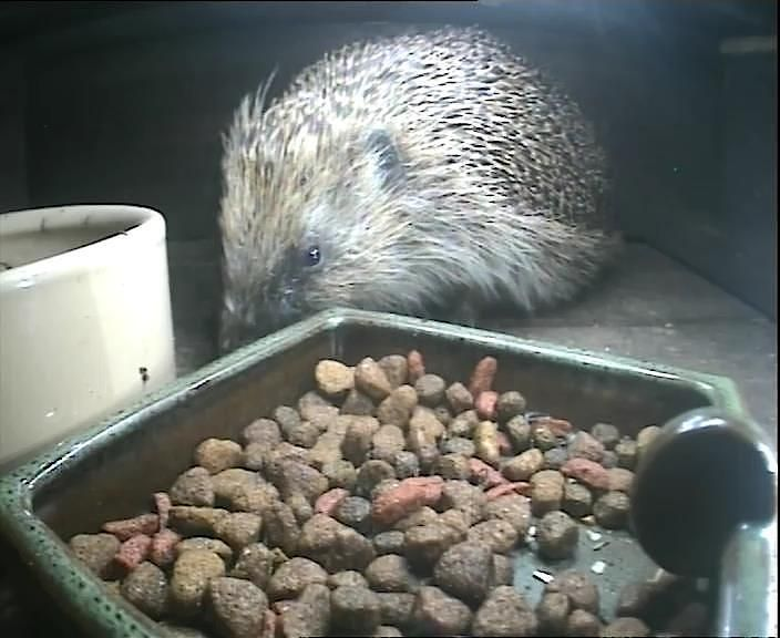 39_Hedgehogfeedingstation