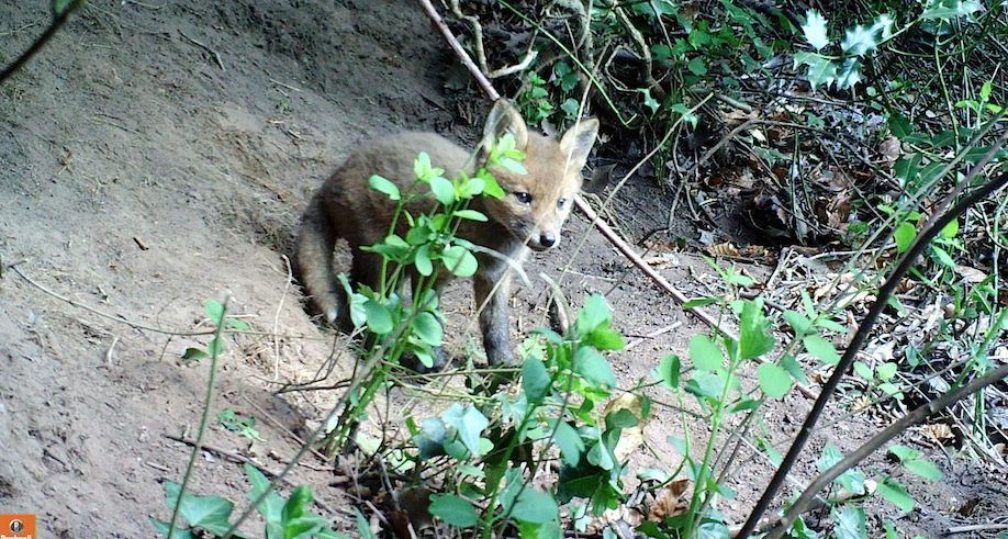 04_Fox cub image
