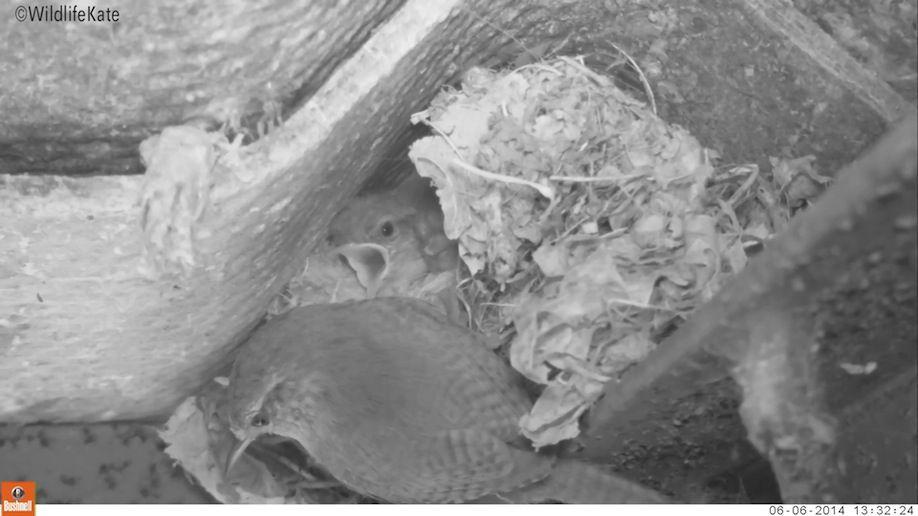09_Wren Adult feeding