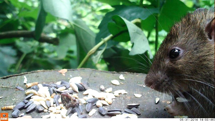 12_Rat Closeup