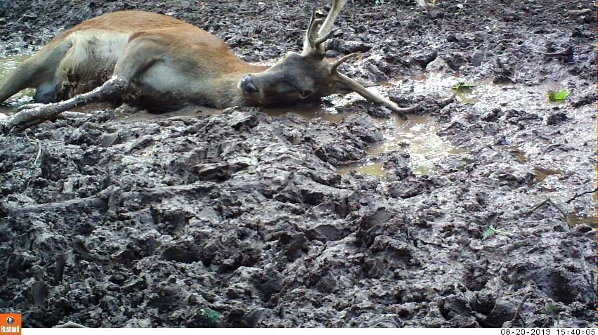 13_Red deerWallow1