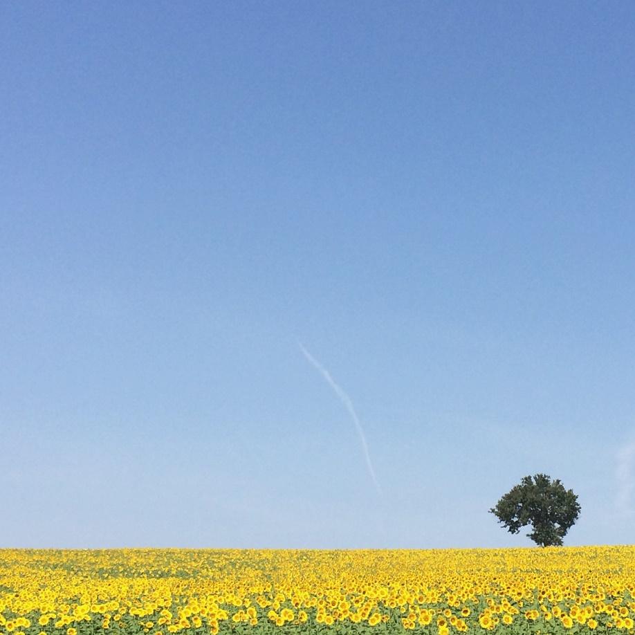 Photo 5 - Sunflowers