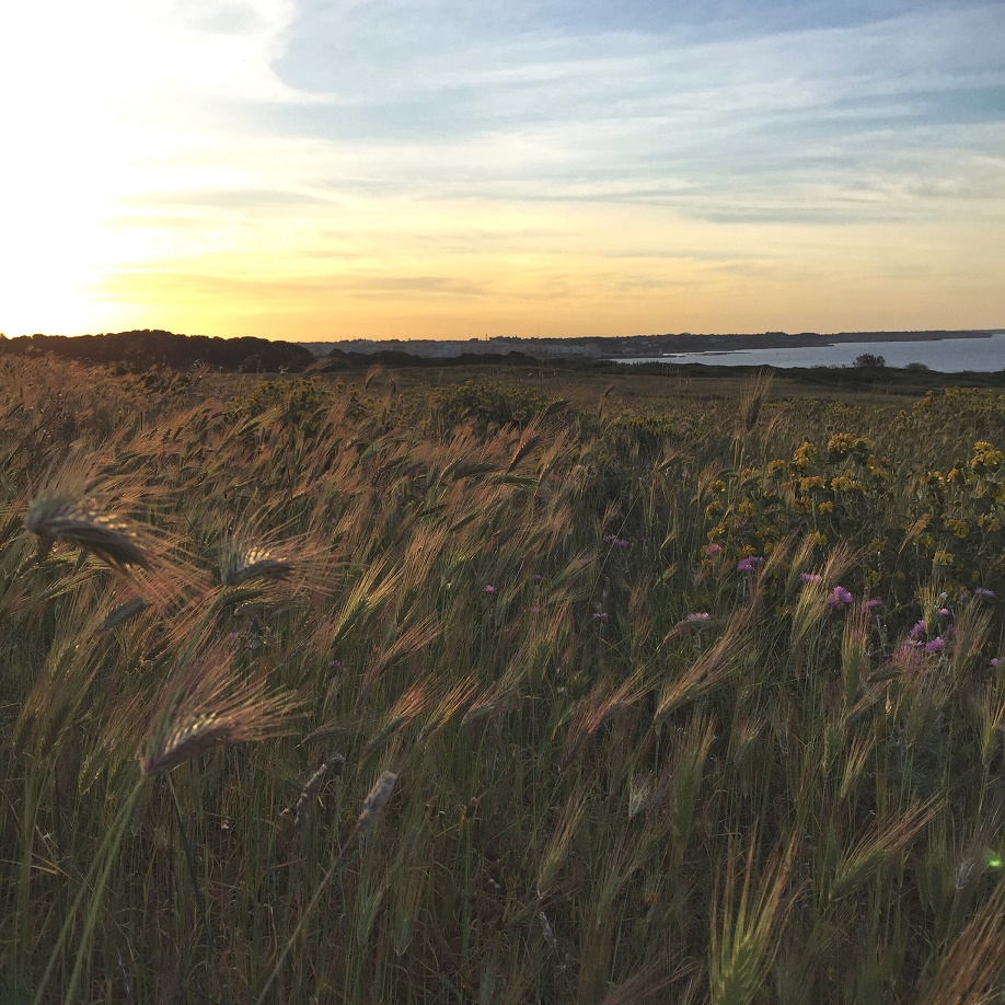 photo 4 - sunset on ears of wheat