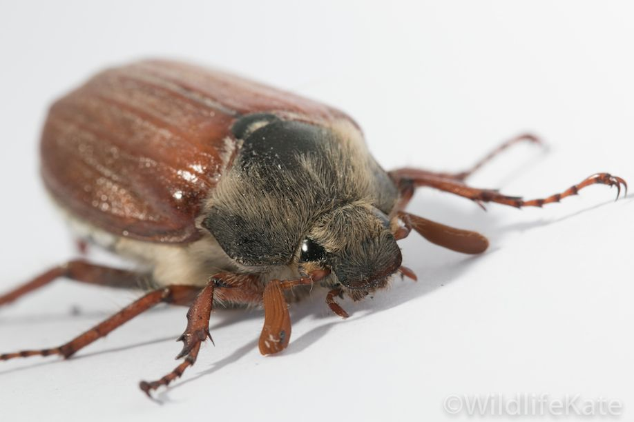 Cockchafer 2
