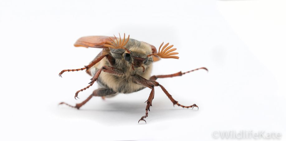 Cockchafer4_