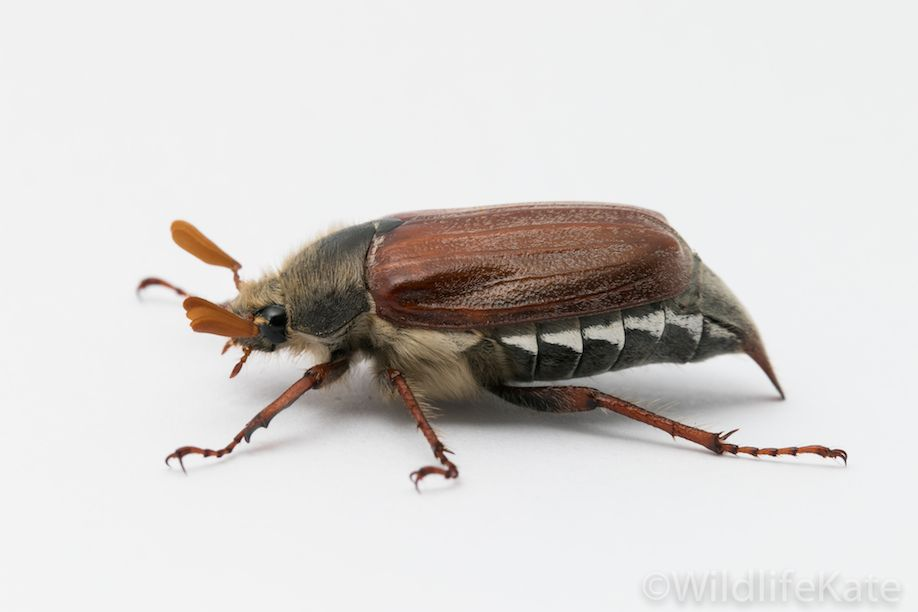 Cockchafer_7