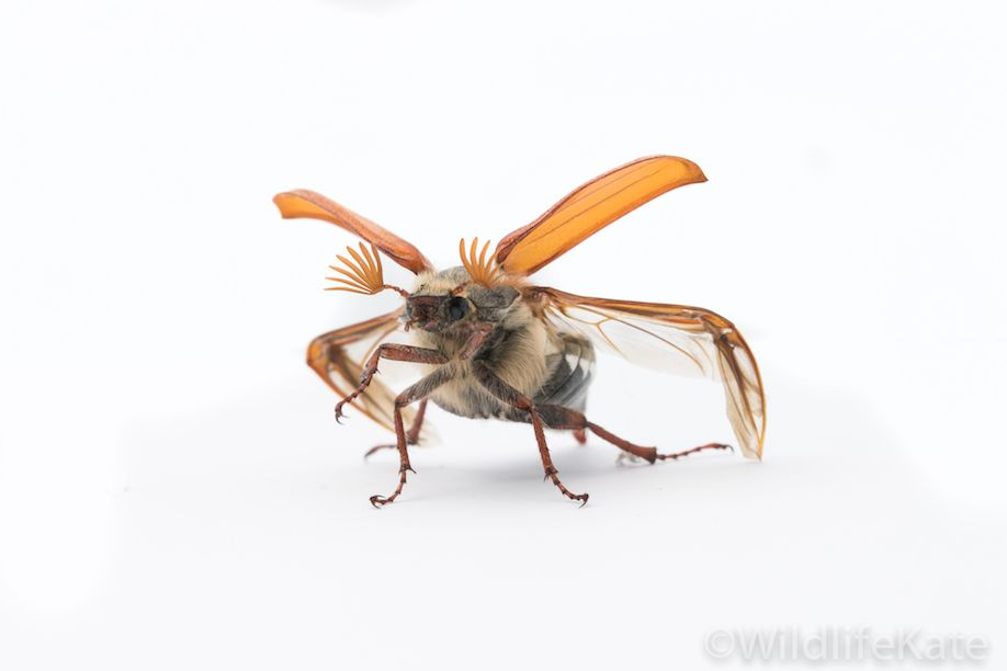 Cockchafer_8