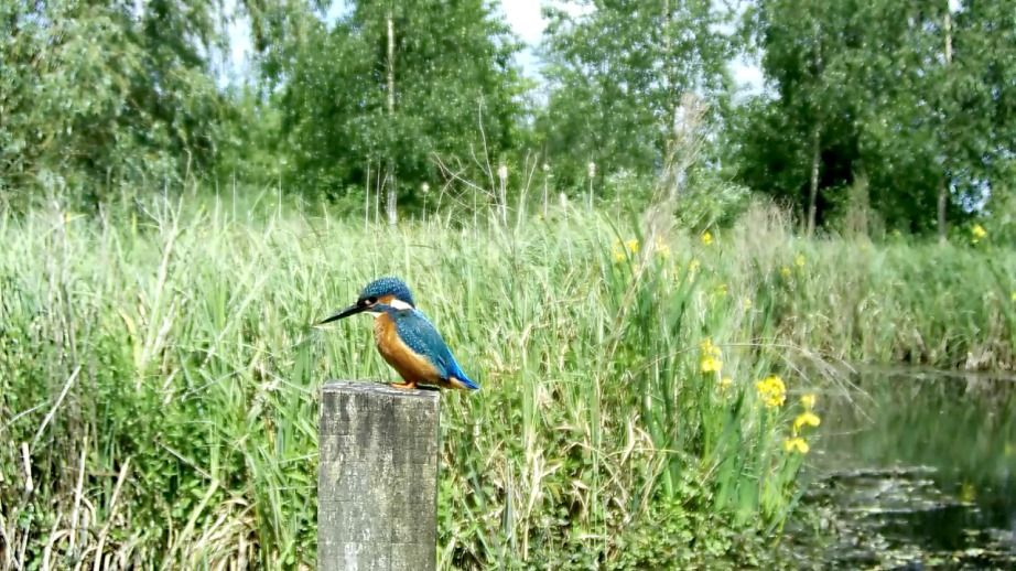 Kingfisher8