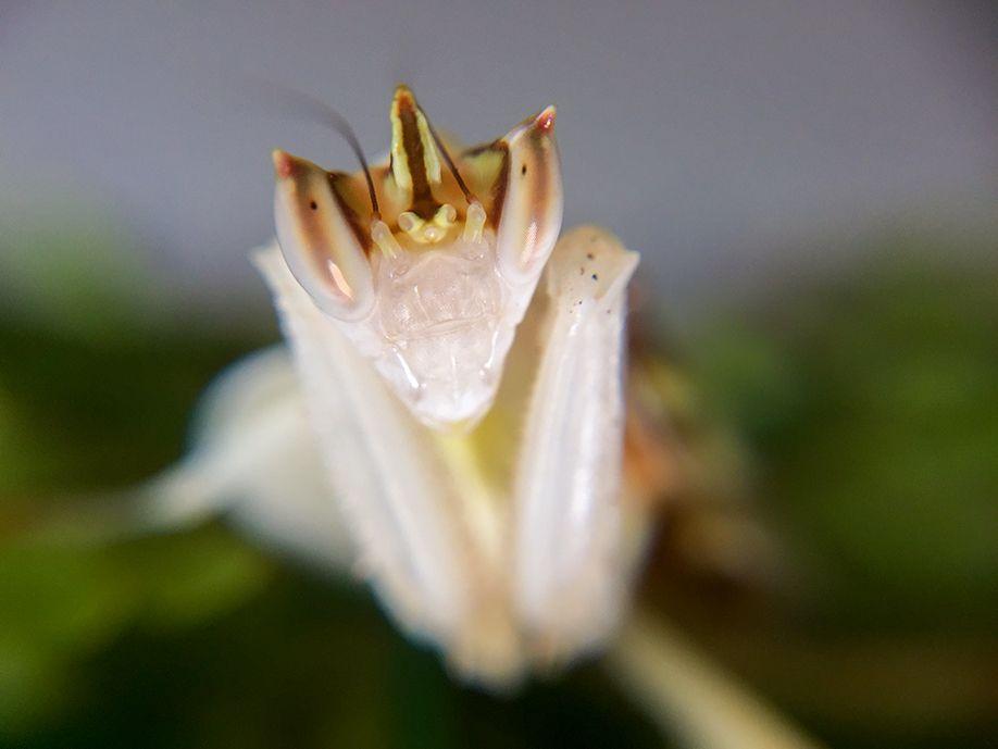 mantis 1 lumie bottom right