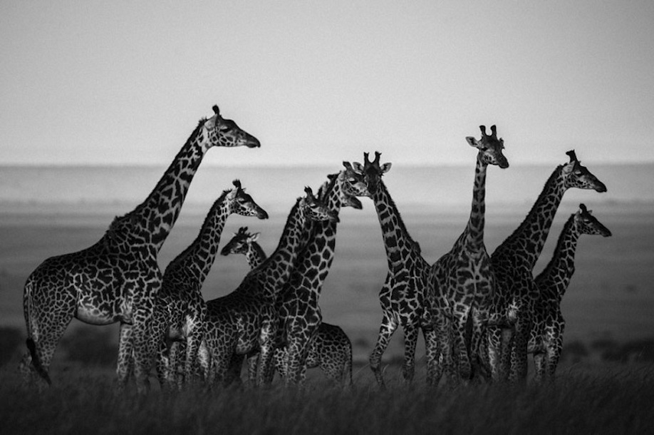 1098-Giraffes in harmony with their natural setting, Kenya 2013 © Laurent Baheux