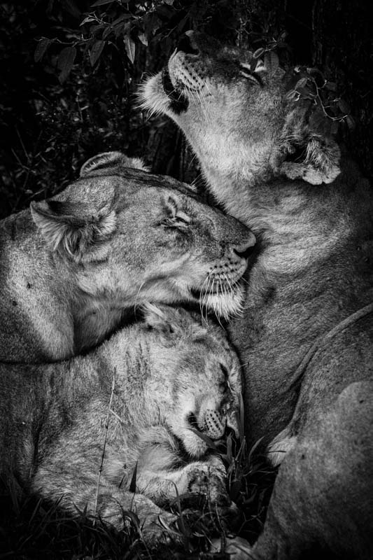 8384-Hugs of lioness, Kenya 2006 © Laurent Baheux