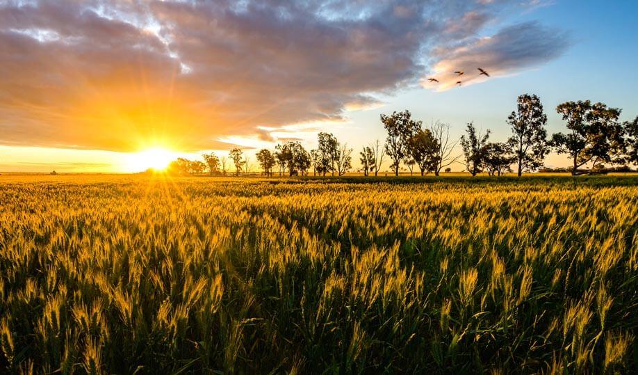 Wheat-Sunset-3