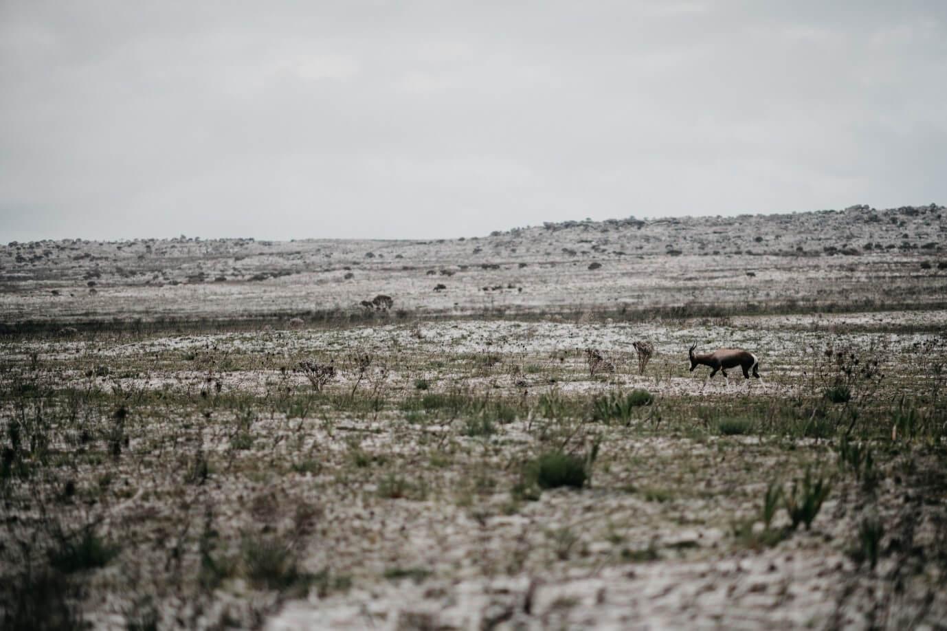 Der Buntbock ist oft auf Flachland zu entdecken.