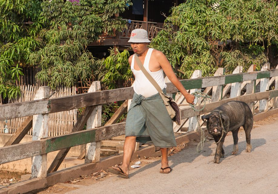 Myanmar (Burma) Nyaungshwe man walking pig home from market