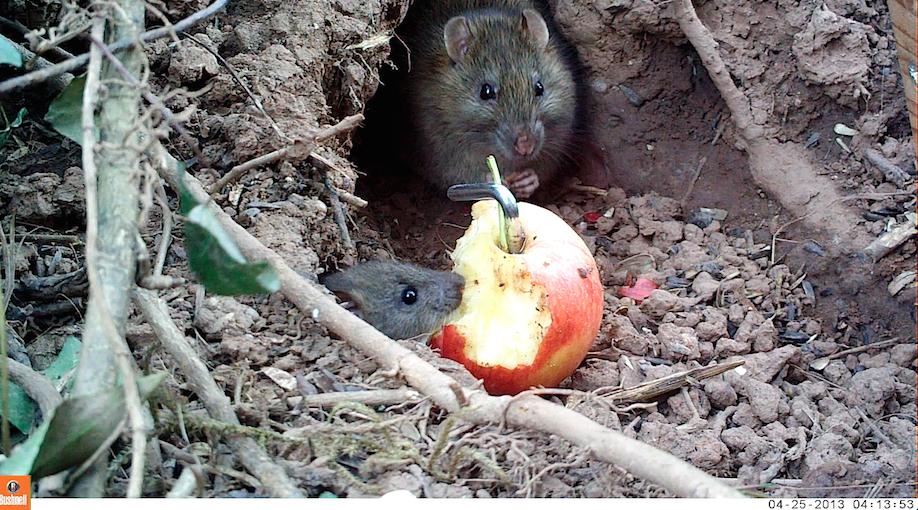 14_Rat&young screenshot