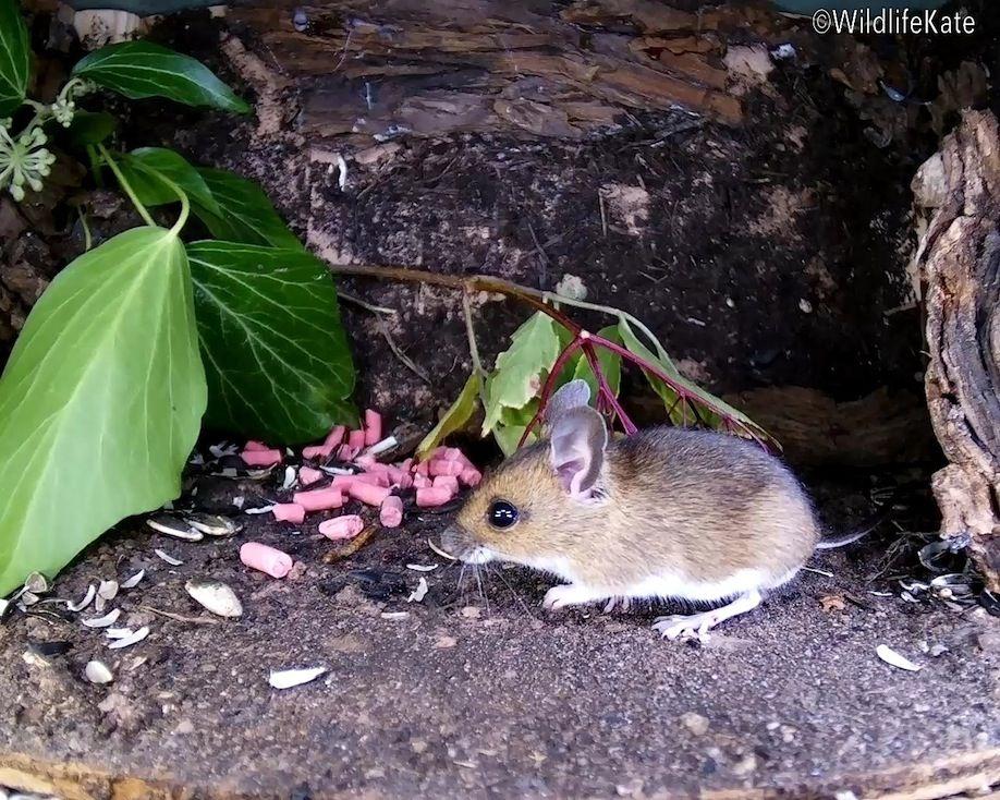 35_elder berry mouse2_00001