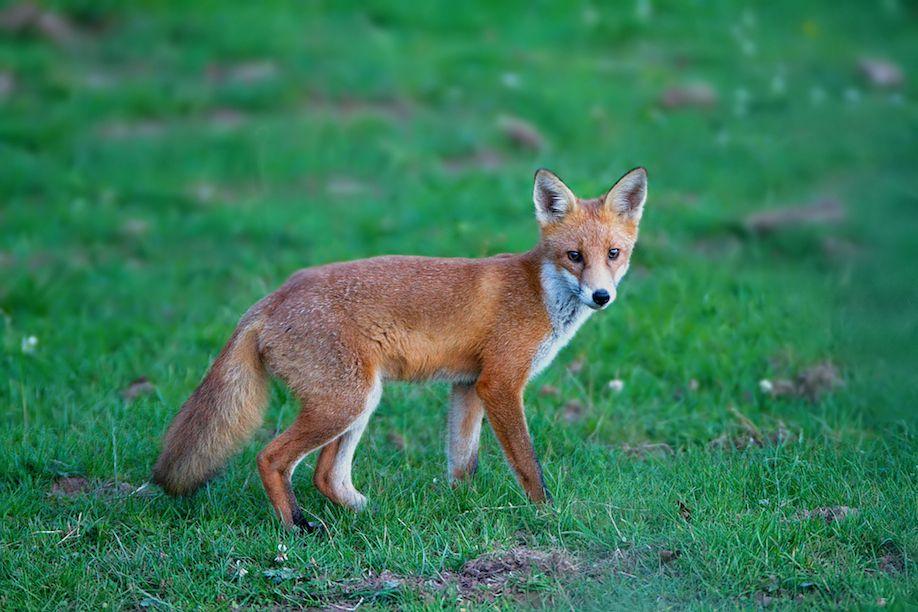 37_foxcub1_Pete