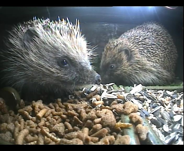 38_2 hedghehogs 3rd Sept_00000