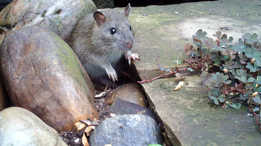 11_Patio rat