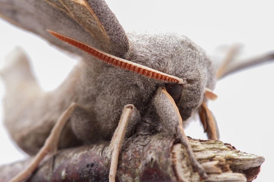 24_Poplar Hawk Moth-7951