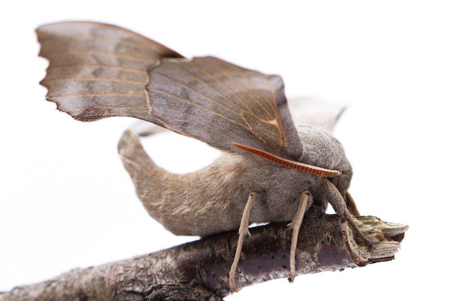 25_Poplar Hawk Moth-7954