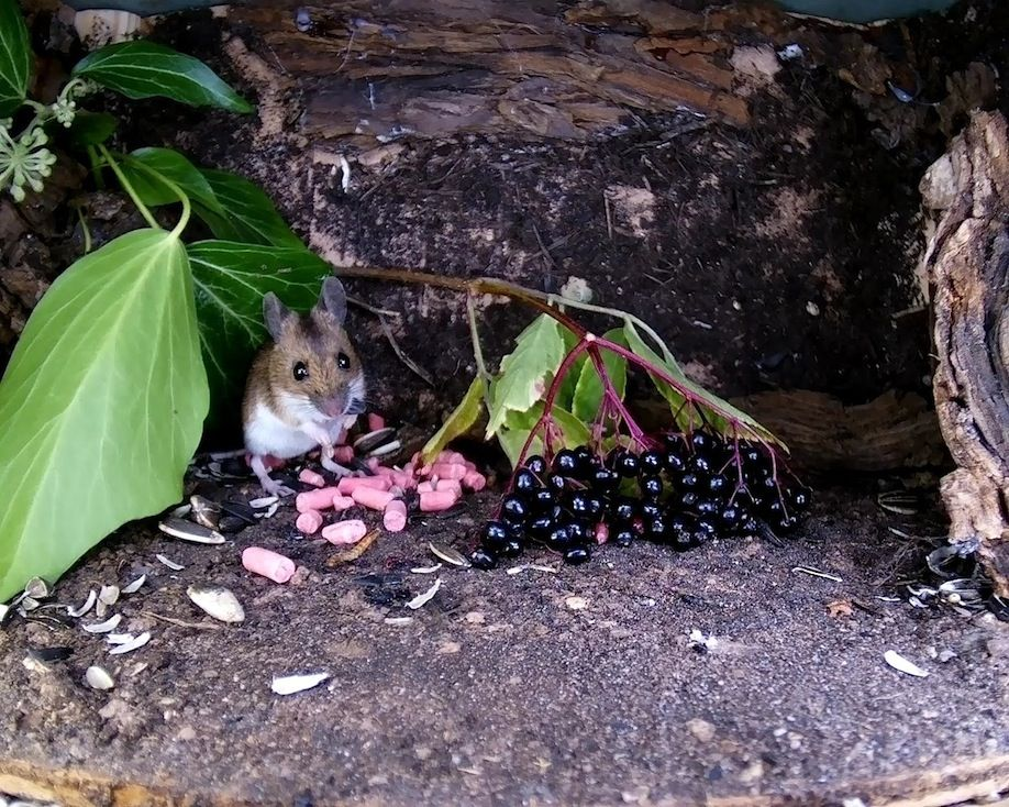 29_elder berry mouse1_00003