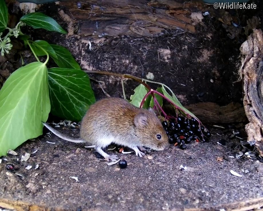 31_elder berry vole1_00003
