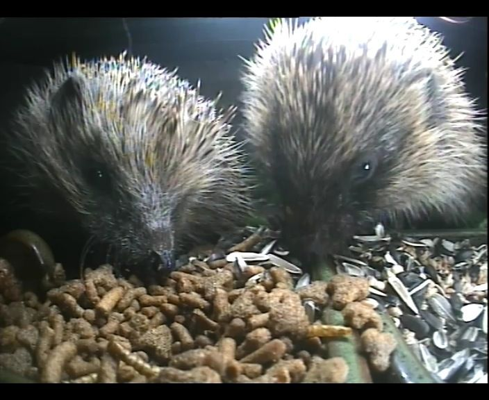 45_2 hedghehogs 3rd Sept_00004
