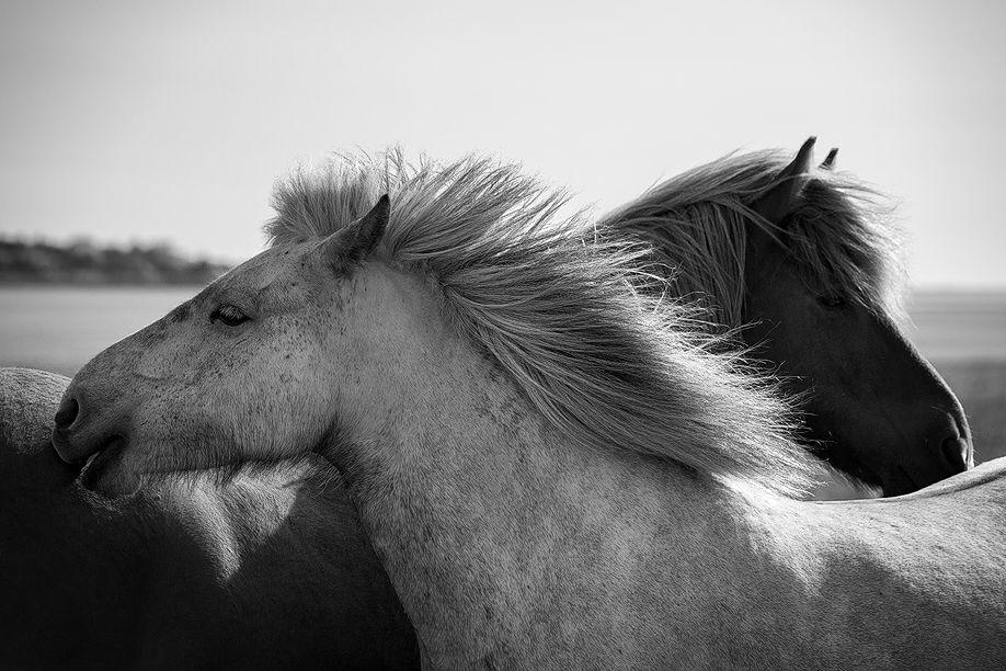 icelandic_horse