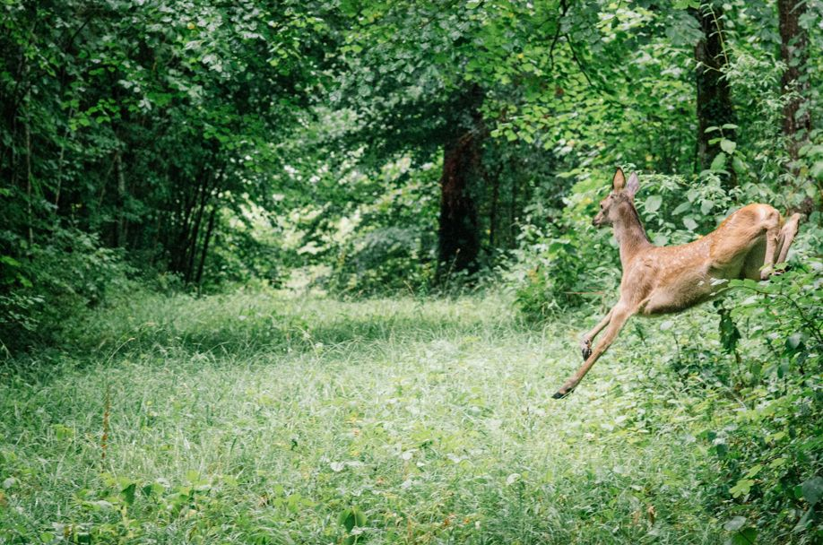 Observe wildlife - Auberive Forest - The leaping doe