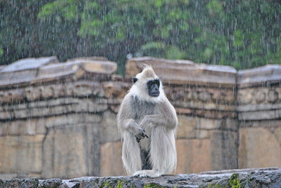 monkey-in-the-rain-sri-lanka