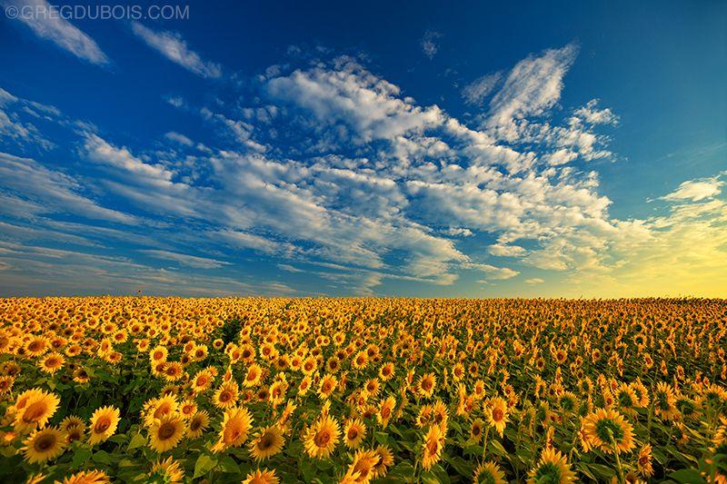コロラドの青い空と雲の下のひまわり畑に指す黄金の日の出