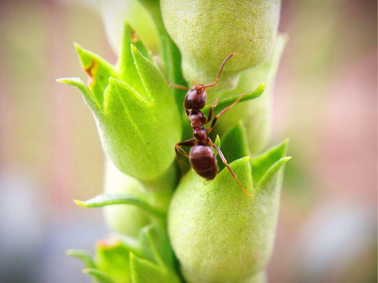 Macro-Ant